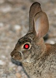 Desert-Cottontail